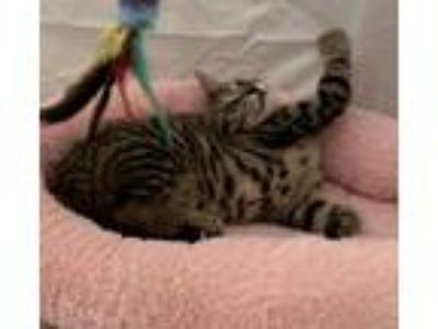 Adopt Kenickie a Bengal, Domestic Short Hair