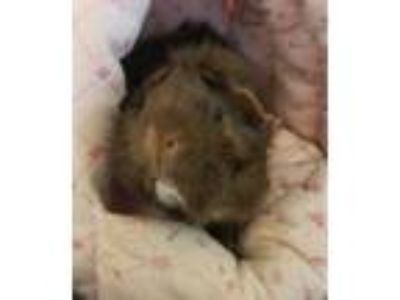 Adopt Rosie a Brown or Chocolate Guinea Pig / Guinea Pig / Mixed small animal in