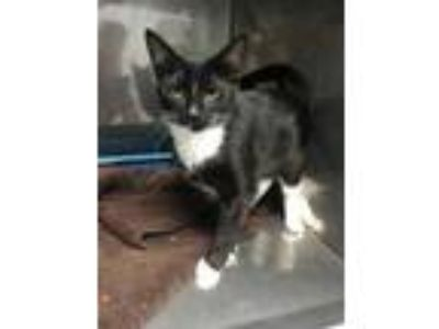 Adopt ZIP a All Black Domestic Shorthair / Domestic Shorthair / Mixed cat in New