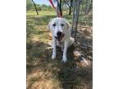 Adopt Lullabelle(Good with goats,cats & people)(Preg) a White Great Pyrenees /