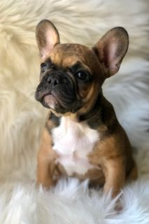 French Bulldog PUPPY FOR SALE ADN-102221 - AKC French Bulldog Puppy