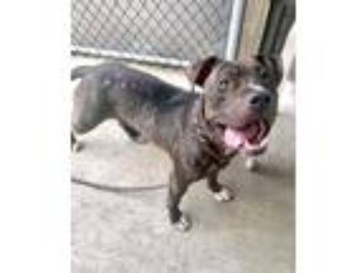 Adopt Coral a Brindle Pit Bull Terrier / Mixed Breed (Medium) / Mixed dog in