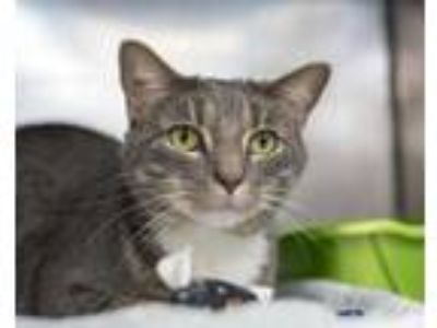 Adopt Gus a Gray or Blue Domestic Shorthair / Domestic Shorthair / Mixed cat in