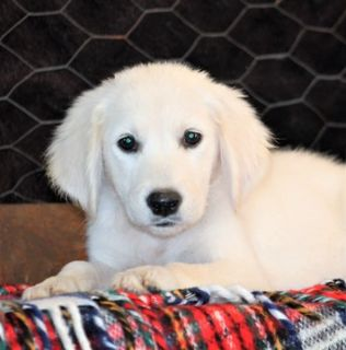 Golden Retriever PUPPY FOR SALE ADN-93048 - Cayla