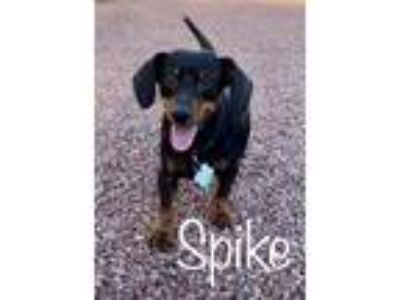 Adopt Spike - LAS VEGAS, NV a Black - with Tan, Yellow or Fawn Dachshund / Mixed