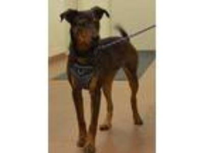 Adopt 56786 Toffee a Brown/Chocolate German Shepherd Dog / Mixed dog in Spanish