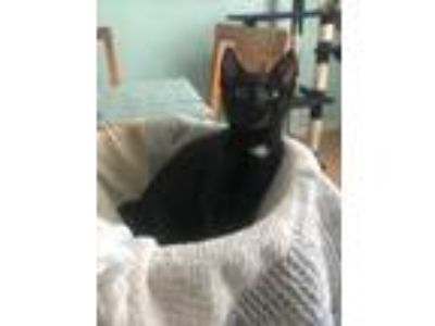 Adopt Izzy a Domestic Short Hair