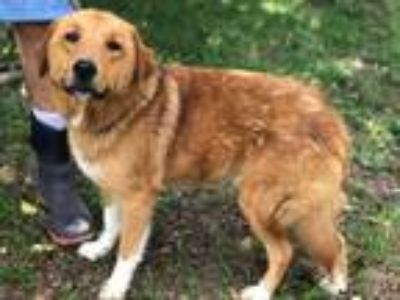 Adopt Hank a Golden Retriever, Collie
