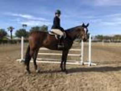 Fancy hunter Eq horse