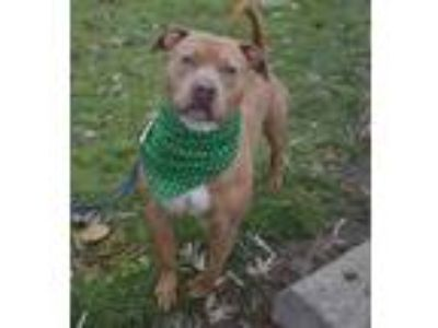 Adopt Maddox a Tan/Yellow/Fawn American Pit Bull Terrier / Mixed dog in South