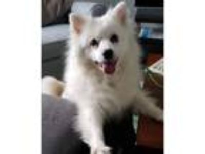 Adopt Elsa a White American Eskimo Dog / Mixed dog in Lafayette, IN (23292530)