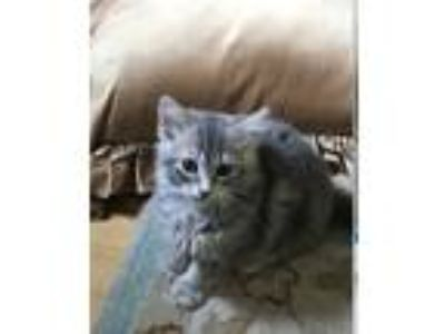 Adopt Nike a Gray or Blue Domestic Mediumhair cat in Oradell, NJ (25941875)