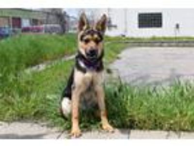 Adopt Darwin a German Shepherd Dog