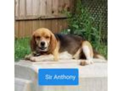 Adopt Anthony a Tricolor (Tan/Brown & Black & White) Beagle / Mixed dog in