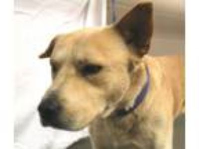 Adopt Bodi a Tan/Yellow/Fawn Akita / Chow Chow / Mixed dog in Oxford