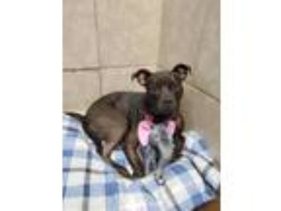 Adopt Carrie a Pit Bull Terrier