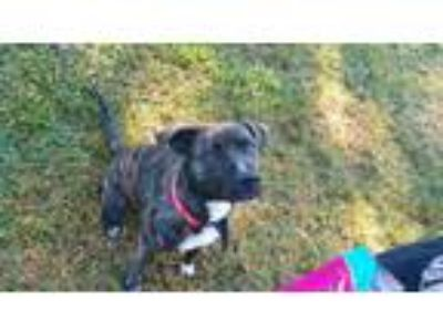 Adopt Ruby a Plott Hound, Catahoula Leopard Dog