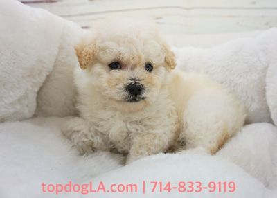 Maltipoo Puppy - Male - Josf ($1,299)