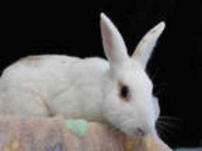 Adopt EDWARD a Black American / Mixed rabbit in Los Angeles, CA (24038811)