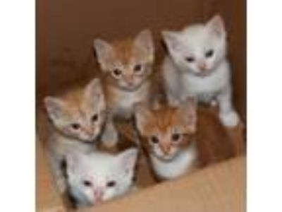 Adopt Kittens! a Orange or Red Domestic Shorthair / Domestic Shorthair / Mixed