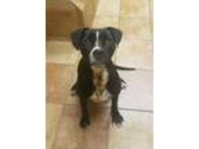Adopt Charlotte a Black Retriever (Unknown Type) / Mixed dog in Fort Worth