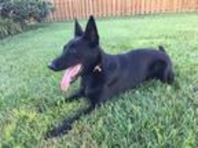 Adopt Recon - available after July 21st a Black Belgian Malinois / Mixed dog in