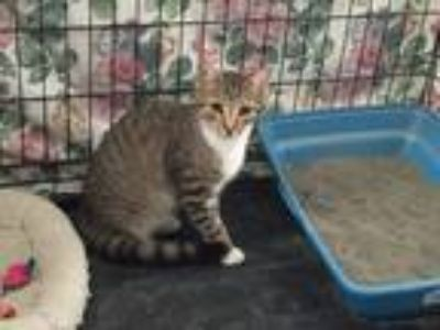 Adopt Cody a Gray, Blue or Silver Tabby American Shorthair / Mixed cat in
