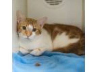Adopt Red a Domestic Short Hair