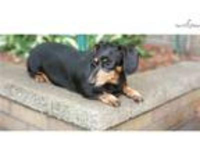 Virginia is a sweet senior mini blk & tan doxie