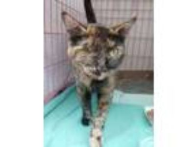 Adopt Buttercup a Brown or Chocolate Domestic Shorthair / Domestic Shorthair /