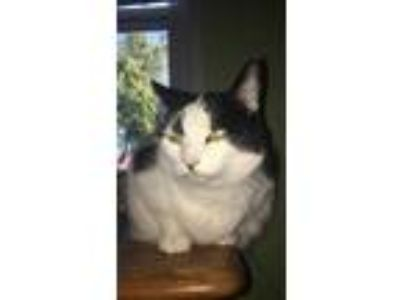Adopt Missy a Black & White or Tuxedo Domestic Shorthair / Mixed cat in Xenia