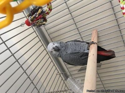 sell my African grey parrots