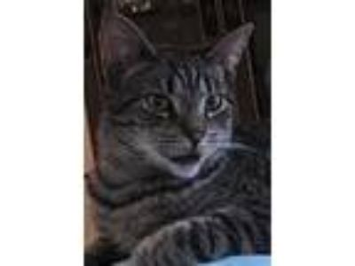 Adopt Ansel a Gray, Blue or Silver Tabby Domestic Shorthair (short coat) cat in