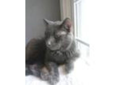 Adopt Jude a Gray or Blue Domestic Shorthair (short coat) cat in Clarkson