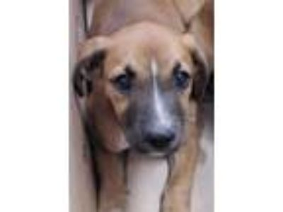 Adopt a Brown/Chocolate - with Black American Pit Bull Terrier / Labrador