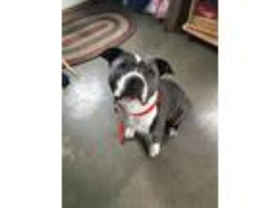 Adopt June Carter a Staffordshire Bull Terrier / Mixed dog in Washburn