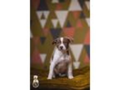 Adopt Arnie a White - with Brown or Chocolate Pit Bull Terrier / Labrador