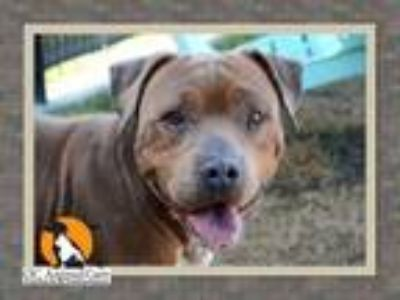 Adopt STANLEY a Pit Bull Terrier