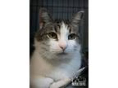Adopt Mr Kitty Fostered (Madison H) a Gray or Blue (Mostly) Domestic Shorthair /