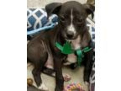 Adopt Patriot a Rat Terrier / Mixed Breed (Medium) / Mixed dog in Clinton