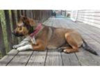 Adopt Cate a Brown/Chocolate Basset Hound / Shepherd (Unknown Type) / Mixed dog