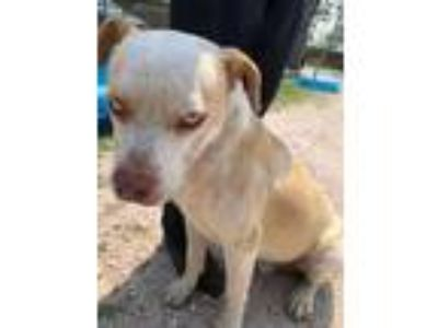 Adopt Diesel a White American Pit Bull Terrier / Husky / Mixed dog in Edinburg