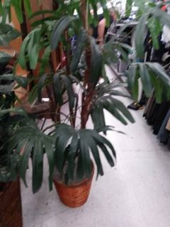 "65"" tall Silk plant Tree in beautiful basket"