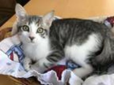 Adopt Onyx - In Foster a Domestic Short Hair