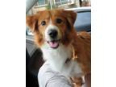 Adopt Peanut a Brown/Chocolate - with White Welsh Corgi / Mixed dog in Beverly