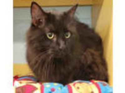Adopt MIDNIGHT a All Black Domestic Longhair / Mixed (long coat) cat in Peoria