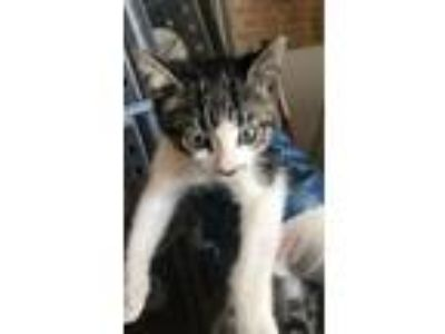 Adopt Buttons a Domestic Short Hair