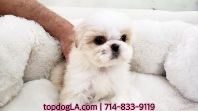 Shih Tzu PUPPY FOR SALE ADN-71432 - Shihtzu Female Lili