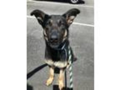 Adopt Riley a Black German Shepherd Dog / Mixed dog in Philadelphia