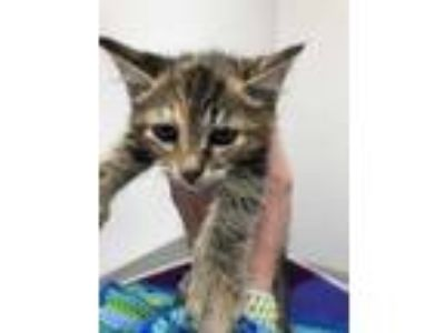 Adopt Camilla a Brown or Chocolate Domestic Shorthair / Domestic Shorthair /